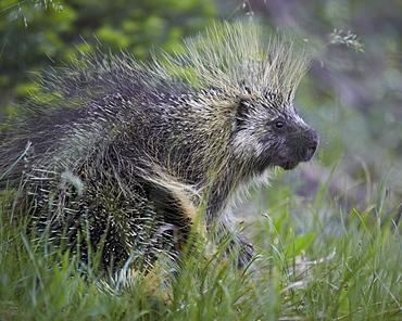 Porcupine (Erethizon dorsatum), Medicine Bow National Forest, Wyoming, United States of America, North America