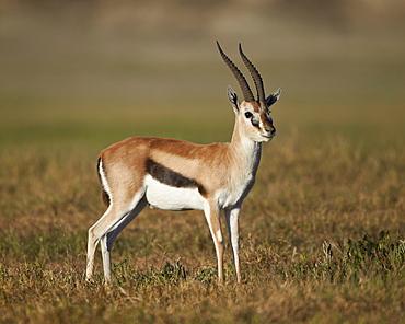 Male Thomson's gazelle (Gazella thomsonii), Ngorongoro Crater, Tanzania, East Africa, Africa
