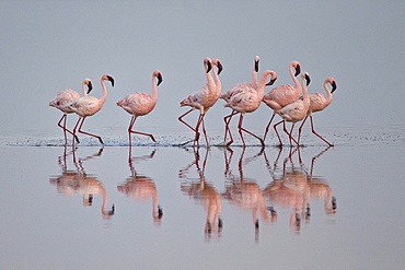 Lesser flamingo (Phoeniconaias minor) group, Serengeti National Park, Tanzania, East Africa, Africa