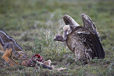 Ruppell's griffon vulture (Gyps rueppellii) approaches a black-backed jackal (silver-backed jackal) (Canis mesomelas) at a blue wildebeest calf kill, Serengeti National Park, Tanzania, East Africa, Africa