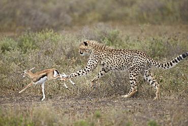 Cheetah (Acinonyx jubatus) cub chasing a baby Thomson's gazelle (Gazella thomsonii), Serengeti National Park, Tanzania, East Africa, Africa