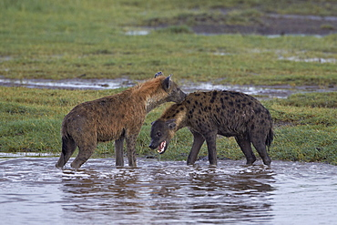 Two spotted hyena (spotted hyaena) (Crocuta crocuta), Serengeti National Park, Tanzania, East Africa, Africa