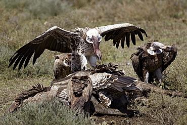 Ruppell's griffon vulture (Gyps rueppellii) atop a zebra carcass, Serengeti National Park, Tanzania, East Africa, Africa