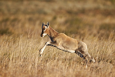 Blesbok (Damaliscus pygargus phillipsi) lamb leaping, Mountain Zebra National Park, South Africa, Africa