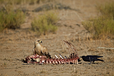 Tawny eagle (Aquila rapax) at a carcass, Kgalagadi Transfrontier Park, encompassing the former Kalahari Gemsbok National Park, South Africa, Africa