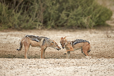Two black-backed jackal (silver-backed jackal) (Canis mesomelas), Kgalagadi Transfrontier Park, encompassing the former Kalahari Gemsbok National Park, South Africa, Africa