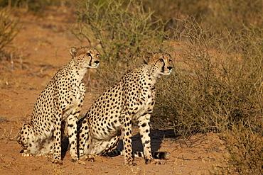Two cheetah (Acinonyx jubatus), Kgalagadi Transfrontier Park, encompassing the former Kalahari Gemsbok National Park, South Africa, Africa