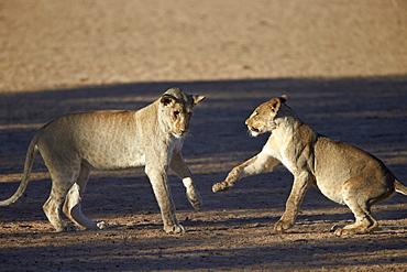 Two young lion (Panthera leo) playing, Kgalagadi Transfrontier Park, encompassing the former Kalahari Gemsbok National Park, South Africa, Africa