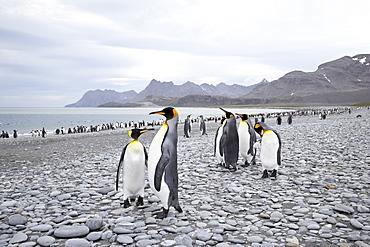 King penguins (Aptenodytes patagonica) on stony beach, Salisbury Plain, South Georgia, Polar Regions