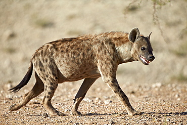 Spotted hyena) (spotted hyaena) (Crocuta crocuta), Kgalagadi Transfrontier Park, encompassing the former Kalahari Gemsbok National Park, South Africa, Africa