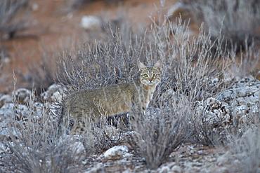 African wild cat (Felis silvestris lybica), Kgalagadi Transfrontier Park, encompassing the former Kalahari Gemsbok National Park, South Africa, Africa