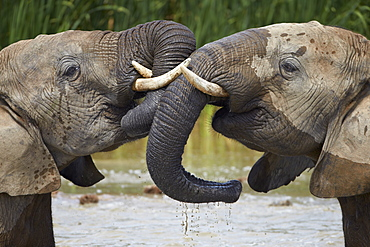 Two African elephant (Loxodonta africana) playing, Addo Elephant National Park, South Africa, Africa