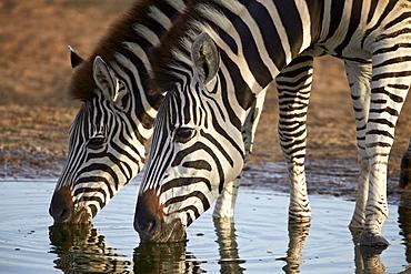 Two common zebra (plains zebra) (Burchell's zebra) (Equus burchelli) drinking, Addo Elephant National Park, South Africa, Africa