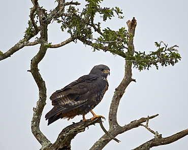 Jackal buzzard (Buteo rufofuscus), Addo Elephant National Park, South Africa, Africa