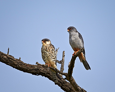 Amur falcon (Eastern red-footed falcon) (Eastern red-footed kestrel) (Falco amurensis) pair, Kruger National Park, South Africa, Africa