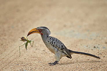 Southern yellow-billed hornbill (Tockus leucomelas) with a winged predatory katydid (Clonia wahlbergi), Kruger National Park, South Africa, Africa