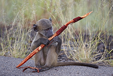 Young Chacma Baboon (Papio ursinus) with a sjambok pod, Kruger National Park, South Africa, Africa