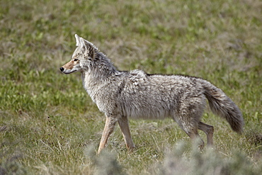 Coyote (Canis latrans), Yellowstone National Park, Wyoming, United States of America, North America