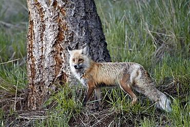 Red Fox (Vulpes vulpes) (Vulpes fulva), Yellowstone National Park, Wyoming, United States of America, North America