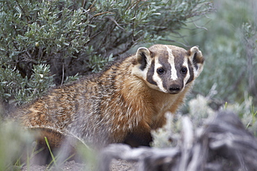Badger (Taxidea taxus), Yellowstone National Park, Wyoming, United States of America, North America