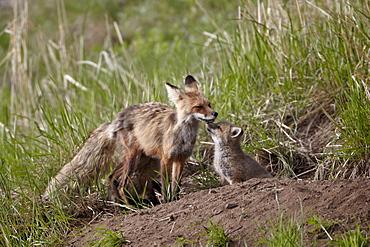 Red Fox (Vulpes vulpes) (Vulpes fulva) vixen and kit, Yellowstone National Park, Wyoming, United States of America, North America
