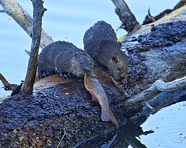River Otter (Lutra canadensis) pups, Yellowstone National Park, Wyoming, United States of America, North America