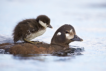 Harlequin Duck (Histrionicus histrionicus) duckling riding on its mother's back, Lake Myvatn, Iceland, Polar Regions