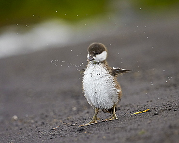 Harlequin duck (Histrionicus histrionicus) duckling drying off, Lake Myvatn, Iceland, Polar Regions