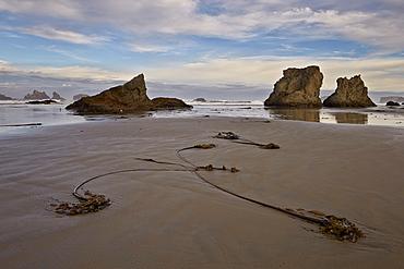 Bull kelp seaweed, Bandon Beach, Oregon, United States of America, North America