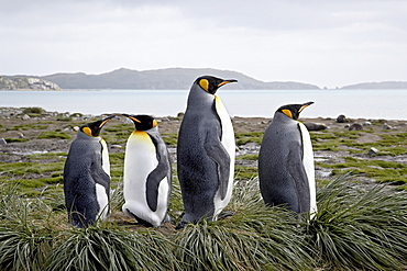 Four king penguins (Aptenodytes patagonica) on tussock-grass nests, Salisbury Plain, South Georgia, Polar Regions