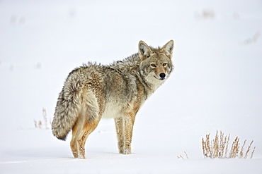 Coyote (Canis latrans) in the snow, Yellowstone National Park, Wyoming, United States of America, North America