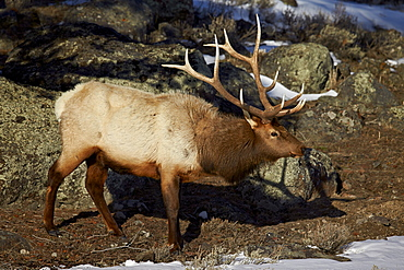 Bull elk (Cervus canadensis), Yellowstone National Park, UNESCO World Heritage Site, Wyoming, United States of America, North America