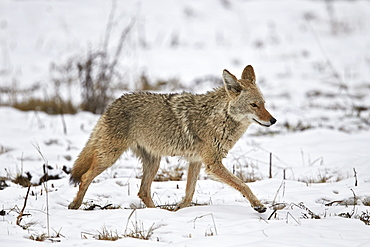 Coyote (Canis latrans) on the snow in the spring, Yellowstone National Park, Wyoming, United States of America, North America
