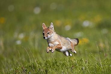 Swift fox (Vulpes velox) leaping, Pawnee National Grassland, Colorado, United States of America, North America