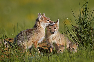Swift fox (Vulpes velox) adults and two kits, Pawnee National Grassland, Colorado, United States of America, North America