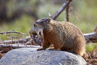 Yellow-bellied marmot (yellowbelly marmot) (Marmota flaviventris) carrying a pup, Yellowstone National Park, Wyoming, United States of America, North America