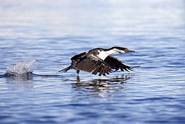 Blue-eyed shag or blue-eyed cormorant or Antarctic cormorant (Phalacrocorax atriceps) taking off from the water, Paulete Island, Antarctic Peninsula, Antarctica, Polar Regions