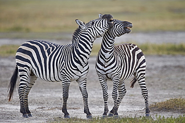 Two common zebra (Plains zebra) (Burchell's zebra) (Equus burchelli) sparring, Ngorongoro Crater, Tanzania, East Africa, Africa