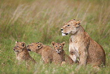Lion (Panthera leo) female and three cubs, Ngorongoro Crater, Tanzania, East Africa, Africa
