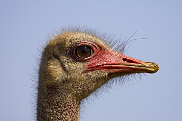 Common ostrich (Struthio camelus), Addo Elephant National Park, South Africa, Africa