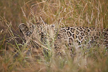 Leopard (Panthera pardus) hiding in tall grass, Kruger National Park, South Africa, Africa