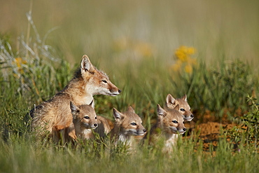 Swift Fox (Vulpes velox) family of a vixen and four kits, Pawnee National Grassland, Colorado, United States of America, North America