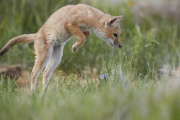 Swift Fox (Vulpes velox) kit pouncing, Pawnee National Grassland, Colorado, United States of America, North America