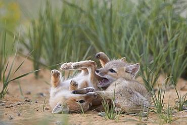 Swift fox (Vulpes velox) kits playing, Pawnee National Grassland, Colorado, United States of America, North America