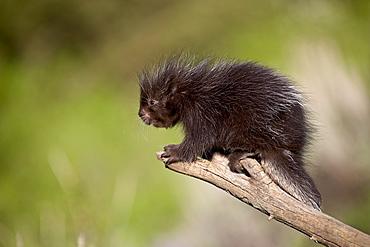A captive baby porcupine (Erethizon dorsatum), Animals of Montana, Bozeman, Montana, United States of America, North America