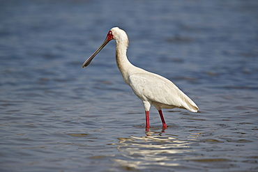 African spoonbill (Platalea alba), Selous Game Reserve, Tanzania, East Africa, Africa
