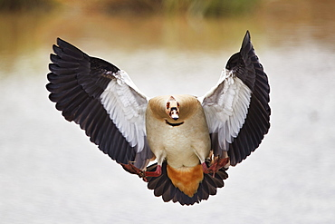 Egyptian goose (Alopochen aegyptiacus) landing, Mikumi National Park, Tanzania, East Africa, Africa