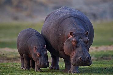 Hippopotamus (Hippopotamus amphibius) mother and baby, Ruaha National Park, Tanzania, East Africa, Africa