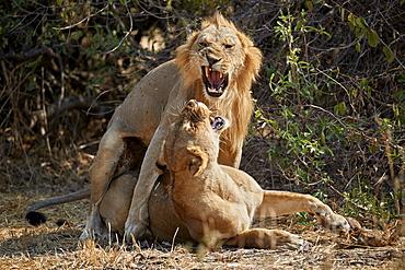Lion (Panthera leo) pair mating, Ruaha National Park, Tanzania, East Africa, Africa