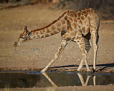 Cape giraffe (Giraffa camelopardalis giraffa) drinking, Kgalagadi Transfrontier Park, encompassing the former Kalahari Gemsbok National Park, South Africa, Africa